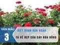Viết một đoạn văn ngắn tả vẻ đẹp của hoa hồng