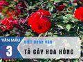 Văn mẫu 3 - Viết đoạn văn tả cây hoa hồng