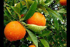 Tặng bé bộ hình mẫu 10+ tranh tô màu cây cam phát triển trí não