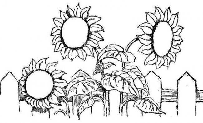 tranh to mau khom hoa huong duong ben hang rao