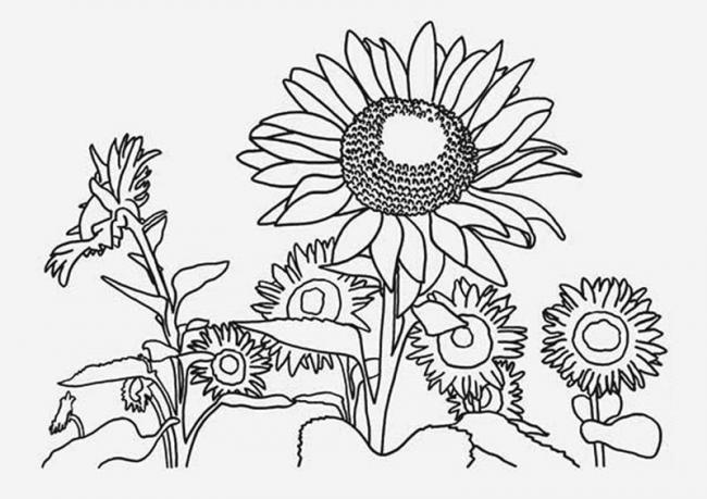 tranh to mau khom hoa huong duong