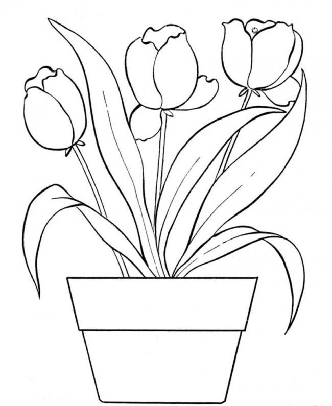 cay hoa tulip duoc trong trong chau