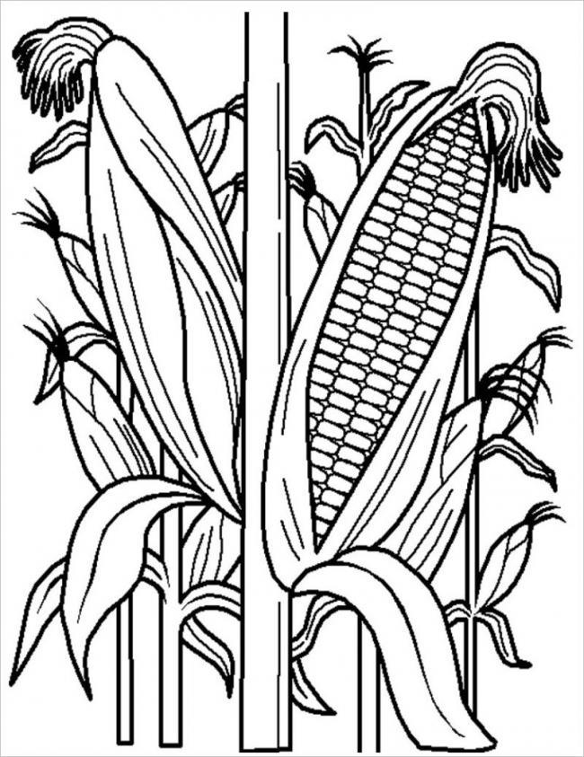 hình vẽ cây ngô cung cấp hạt làm thức ăn