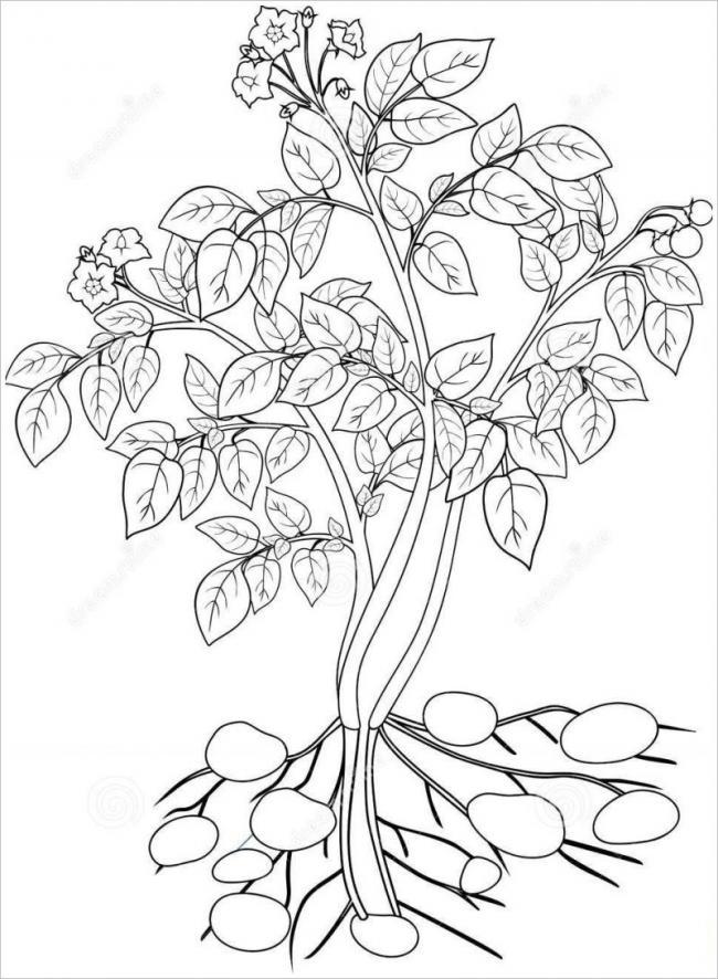 hình vẽ cây khoai tây khi trưởng thành cho nhiều củ