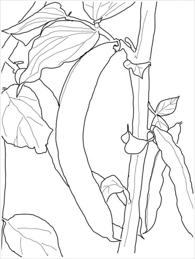 hình vẽ cây đậu thuộc nhóm ngũ cốc