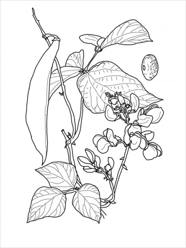 hình vẽ cây đậu đen cho hạt màu đen dùng để nấu chè