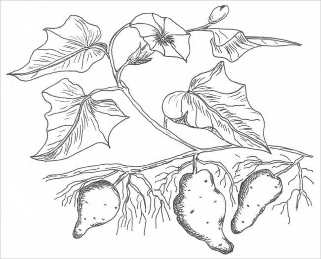 hình cây khoai lang - món ăn ưa thích của người Việt