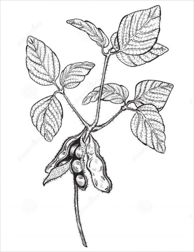 hình vẽ cây đậu tương dùng làm đậu phụ