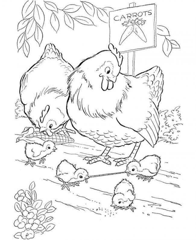 Đàn gà con kiếm mồi trong vườn Cà rốt