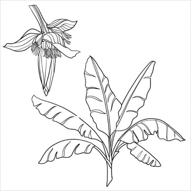 hình ảnh hoa chuối trong thời kỳ sinh trưởng