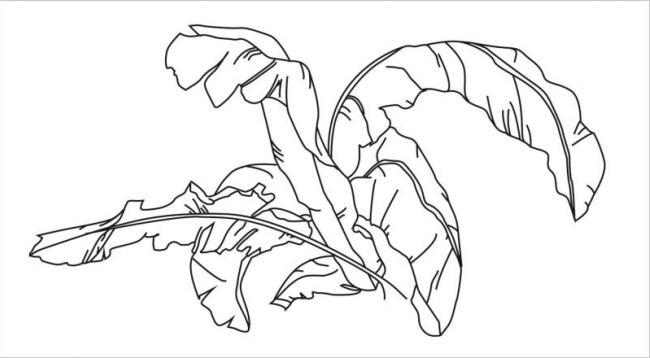 hình vẽ cây chuối tiêu với những tán lá dài