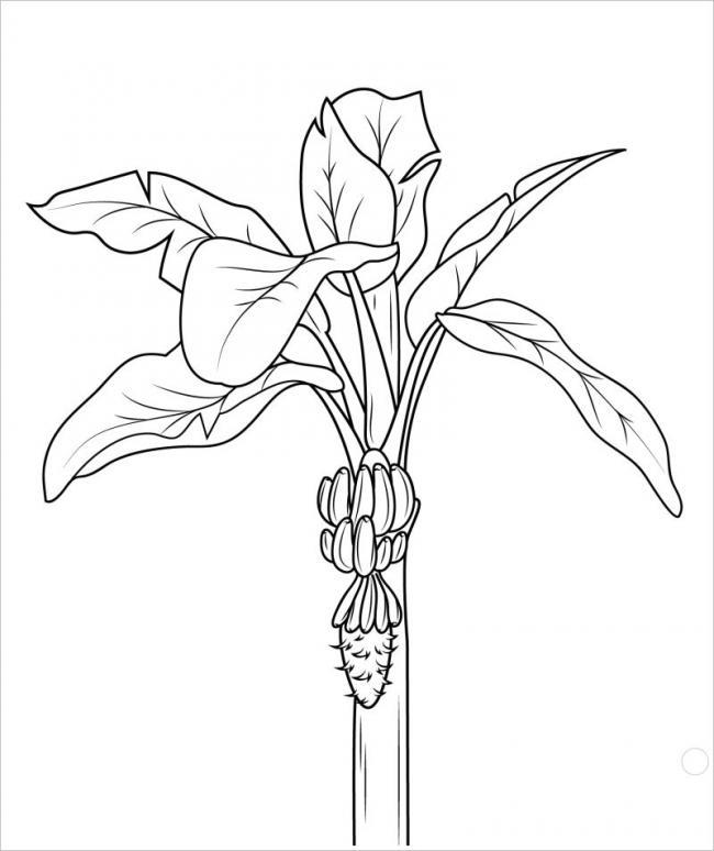 tranh vẽ cây chuối trưởng thành đang ra hoa kết trái