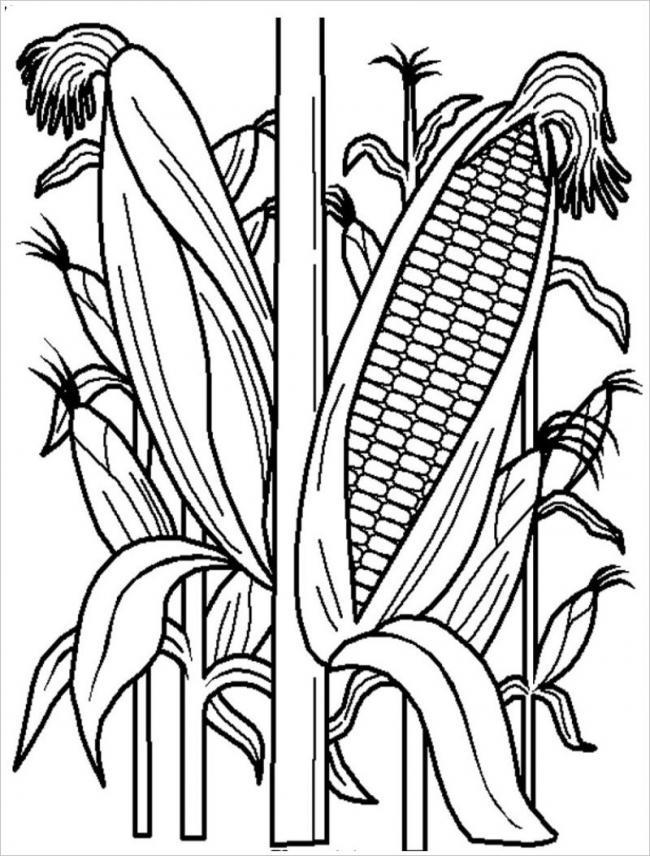hình vẽ cây ngô được mùa với hạt đều và chắc nịch