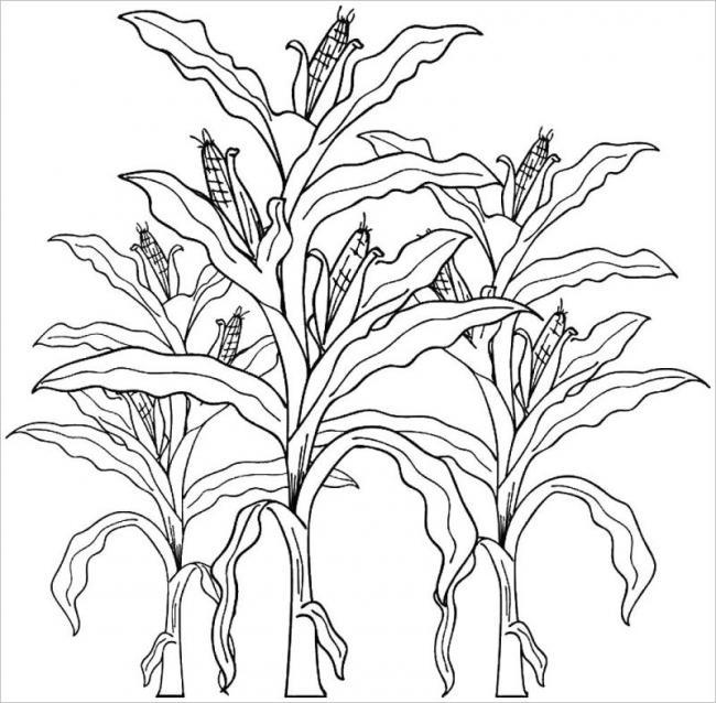 xem ảnh những cây ngô trong giai đoạn bắp non