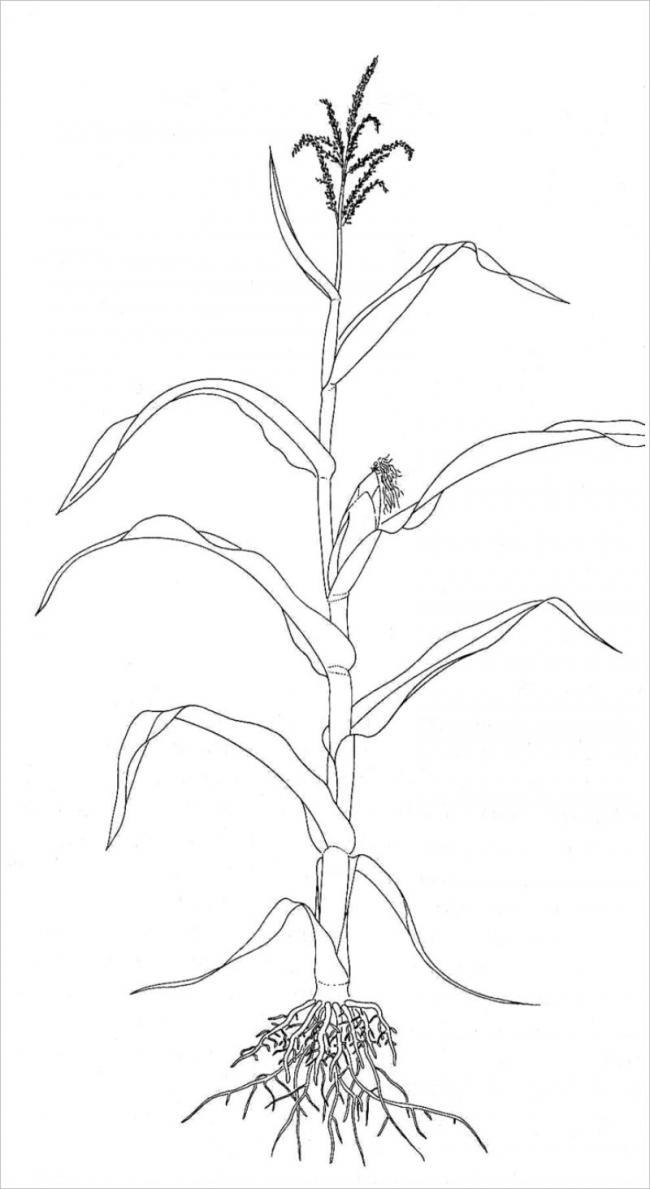 Tranh vẽ mô tả cây ngô giai đoạn bắt đầura hoa tạo hạt