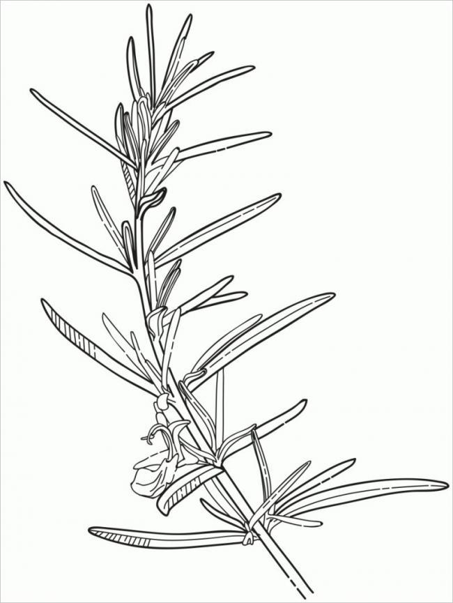 Hình ảnh cây cỏ xạ hương