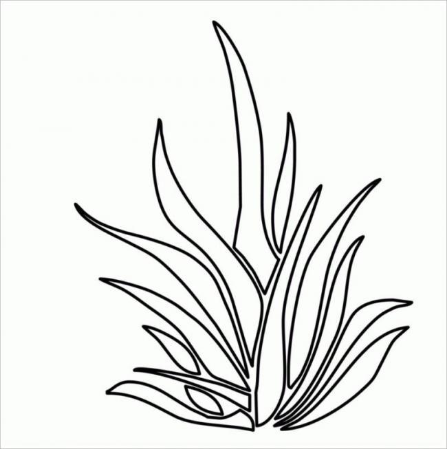 hình mô tả cỏ lá gừng được dùng trang trí các bãi cỏ lớn
