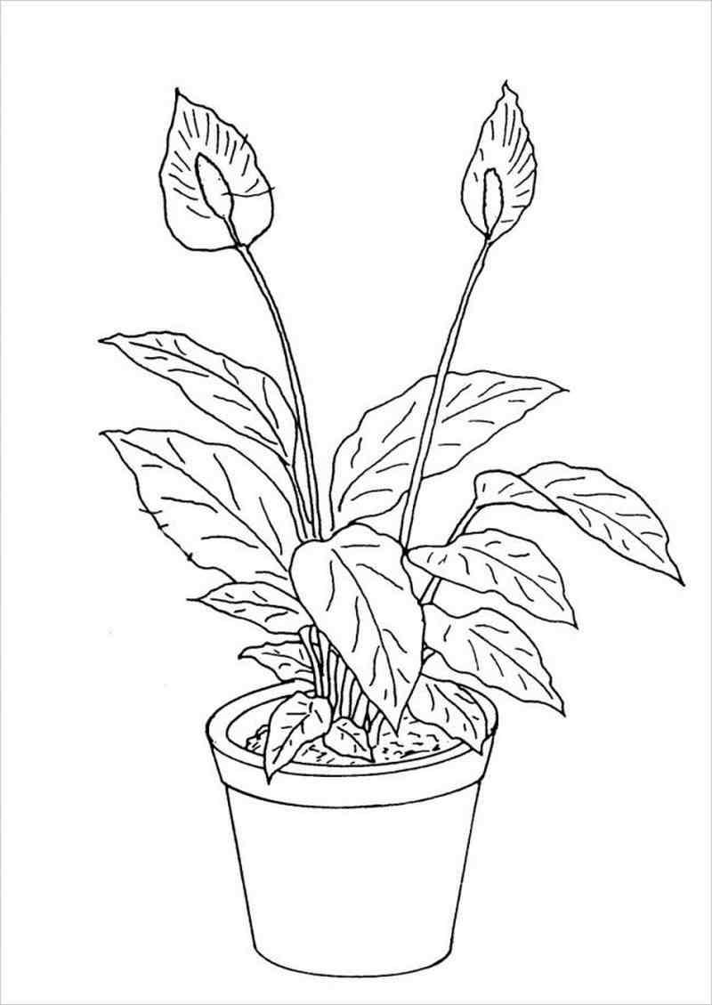 hình vẽ cây Lan Ý loại cây cảnh được ưa chuộng