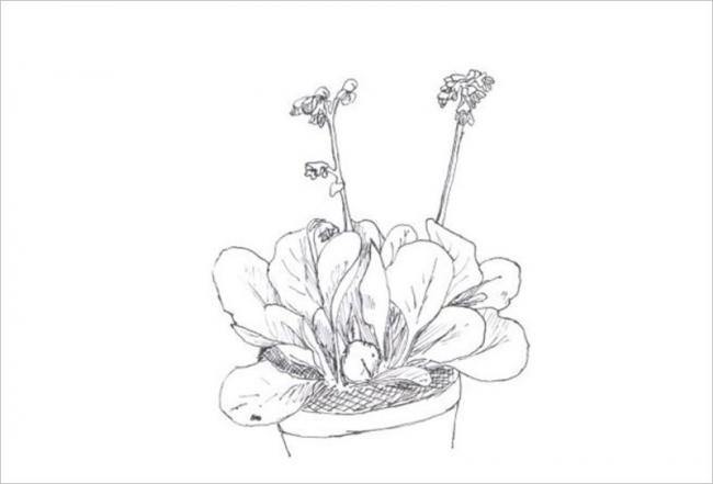 hình vẽ cây hoa cải vàng