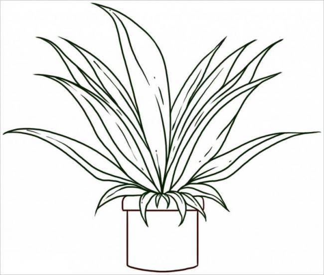 hình vẽ cây vạn niên thanh
