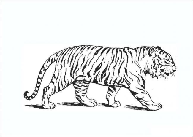 Tranh tô màu con hổ Dần