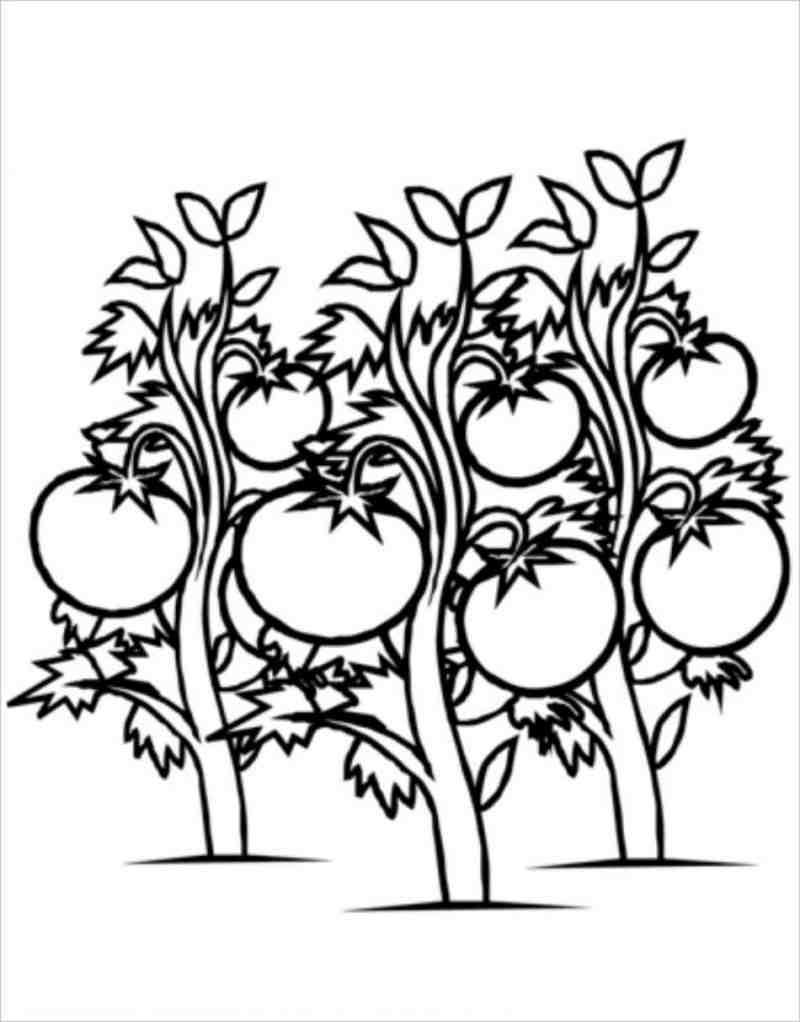 tranh tô màu cây cà chua mọc được rất nhiều quả