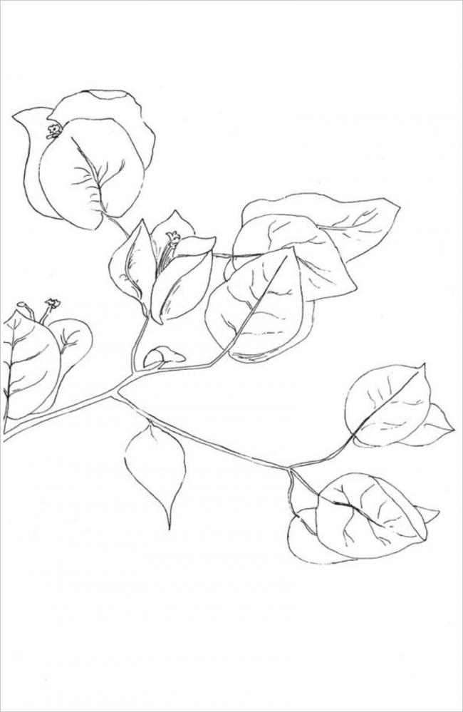 hình ảnh cây hoa giấy