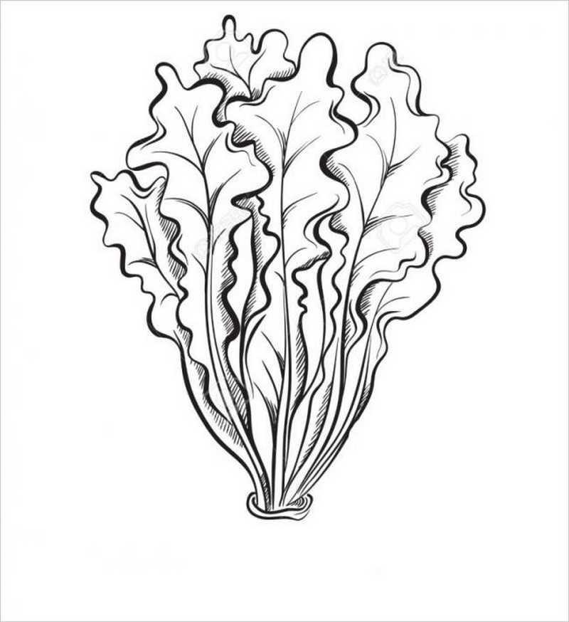 hình vẽ cây rau diếp hay còn gọi là cải lá xoăn
