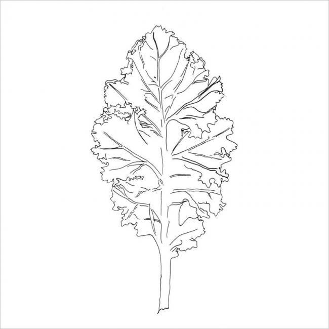 Hình vẽ một lá cải xoăn kale