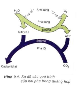 Hình 9.1 câu hỏi thảo luận trang 41 sgk sinh học 11