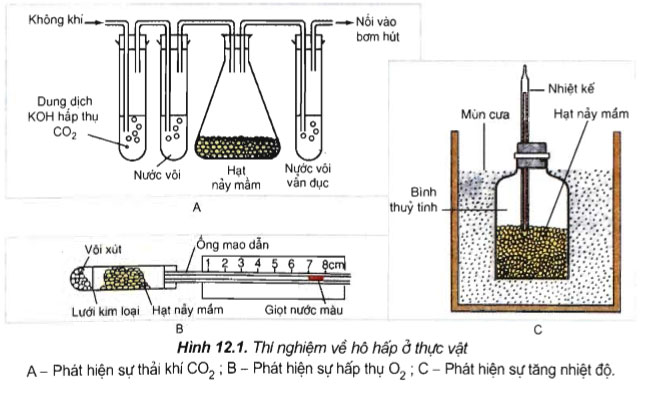 Hinhf 12.1 câu hỏi thảo luận bài 12 trang 51 sgk sinh học 11