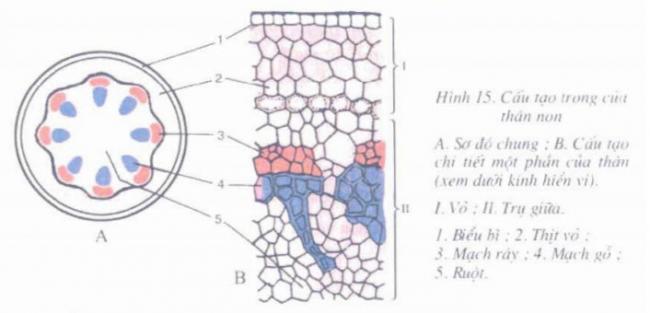 Sơ đồ cấu tạo trong của thân non
