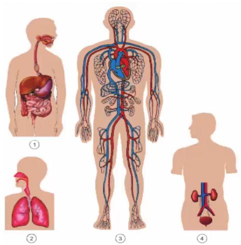 Các cơ quan trong cơ thể người