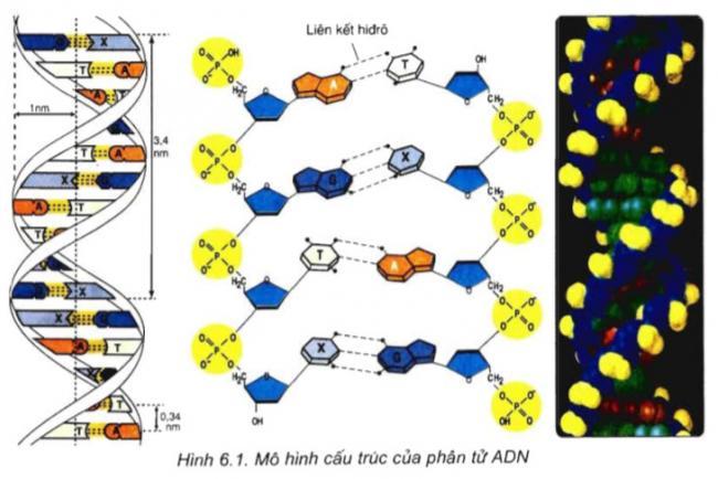 mô hình cấu trúc của phân tử ADN