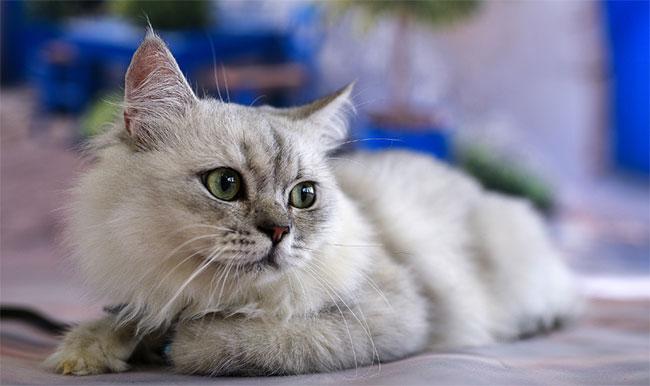Hình ảnh miêu tả chú mèo trong bài văn mẫu số 1