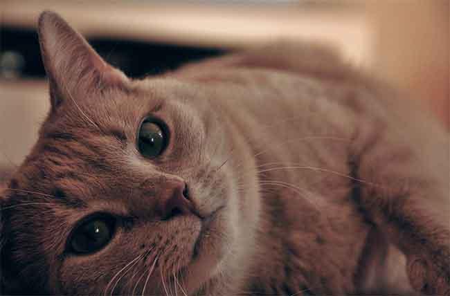 Bài văn tả con mèo lớp 3