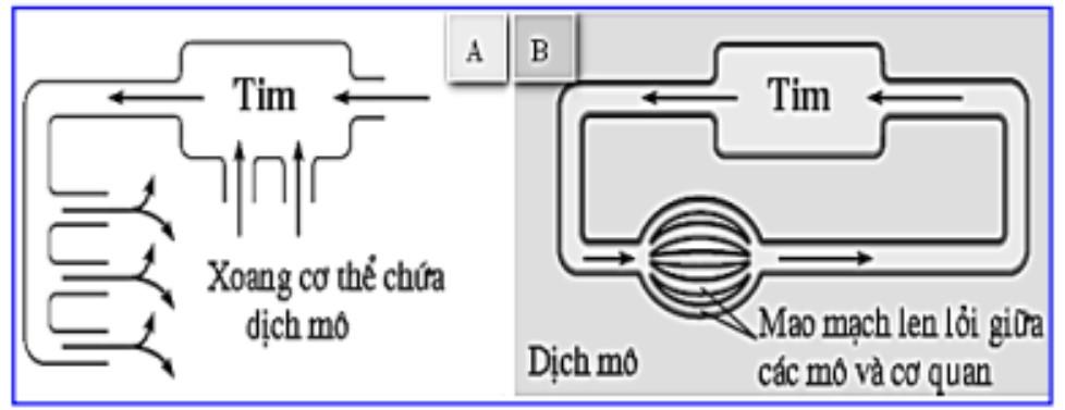Hình bên mô tả 2 dạng hệ tuần hoàn ở động vật, cho biết phát biểu nào dưới đây hình ảnh