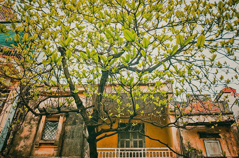 Tả cây bàng mùa xuân