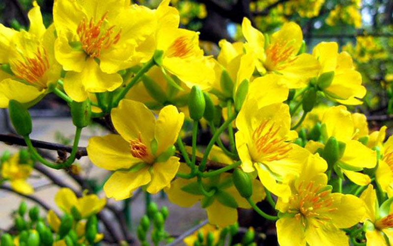 Ta cay hoa mai vang ngay Tet mien nam