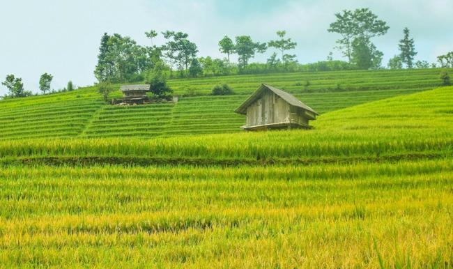 Thuyết minh về cây lúa: Hình ảnh ruộng lúa miền Bắc