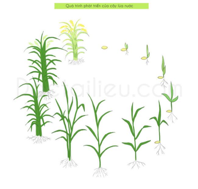 Thuyết minh về cây lúa: Hình ảnh quá trình phát triển